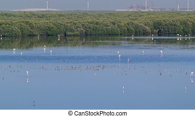 Group of beautiful flamingo birds with reflections,  walking  at the lake timelapse in Ajman, UAE