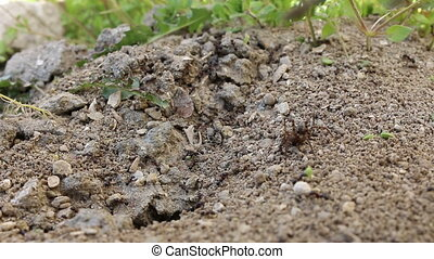 Group of black ants attacking spider. Lots of small ants ...