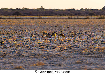 Group of Black Backed Jackals on the desert pan at sunset. Etosha National Park, the main travel destination in Namibia, Africa.