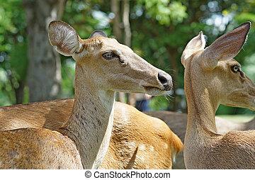 group of brow antlered deer in the zoo