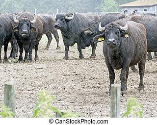 group of  buffalos in  natural park
