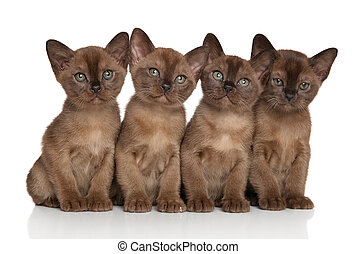 Group of Burmese kittens