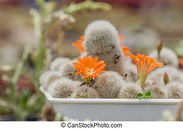 Group of cactuses with orange flowers