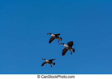 Group of Canada Geese descending towards a pond