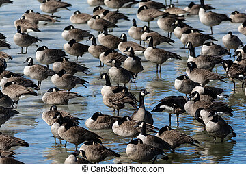Group of Canada Geese on a frozen pond