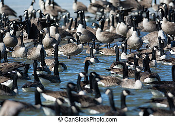 Group of Canada Geese on a pond