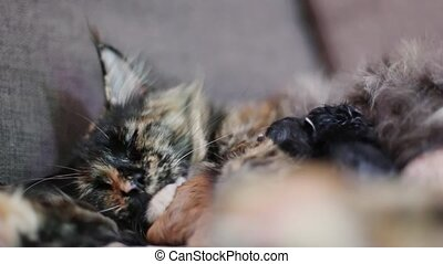 Group of cats and kitten Maine Coon. Little red and black kittens with mother cat