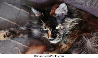 Group of cats and kitten Maine Coon. Little red and black...