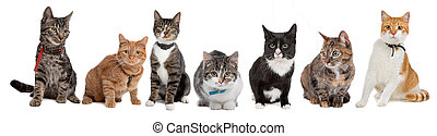 Group of cats, European Shorthair, in front of a white ...