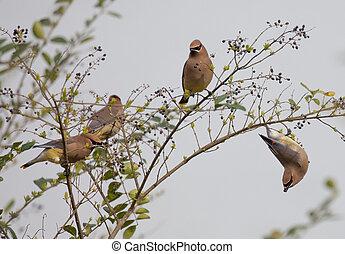 Group of Cedar Waxwings