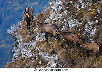 group of chamois goats in nature