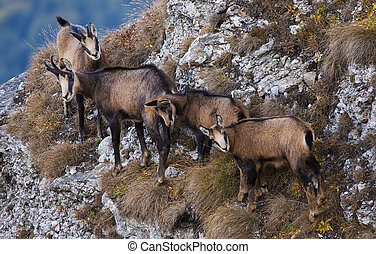group of chamois goats looking at camera
