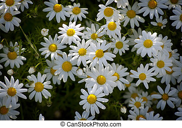 chamomile flowers - group of chamomile flowers in a rural...