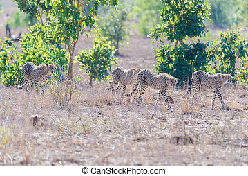 Group of Cheetah in hunting position ready to run for an ambush. Kruger National Park, South Africa.