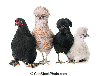 group of chicken