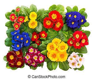 group of colorful fresh spring primrose flowers isolated on ...