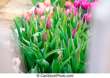 Group of colorful tulip. Pink flower tulip lit by sunlight. Soft selective focus
