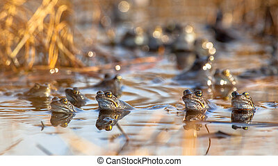 Group of common frogs - Group of male common frogs (Rana...