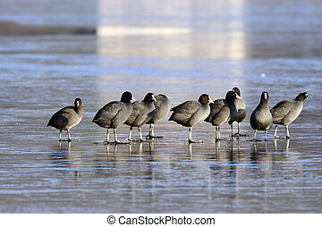 group of coots in winter