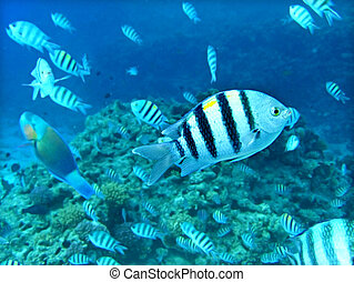 Group of coral fish in blue water. Red sea.