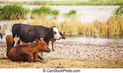 Group Of Cows at Pond