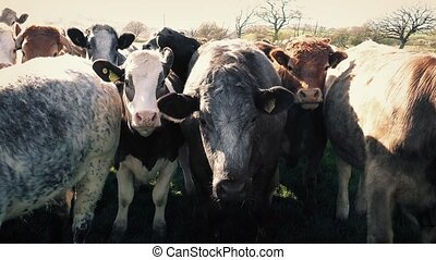 Group Of Cows Facing Forward