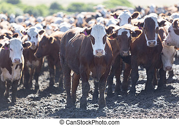 Group of cows in intensive livestock farm land, Uruguay - ...