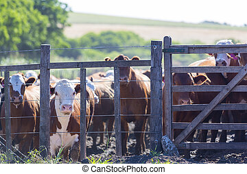 Group of brown cows looking at the camera in a farm land in Uruguay. This is the result of intensive livestock business in South America 2014.
