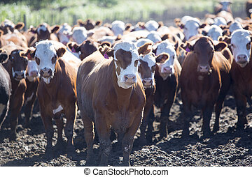 Group of cows in intensive livestock farm land, Uruguay