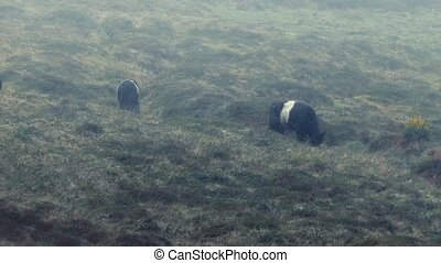 Group Of Cows In Rain Storm