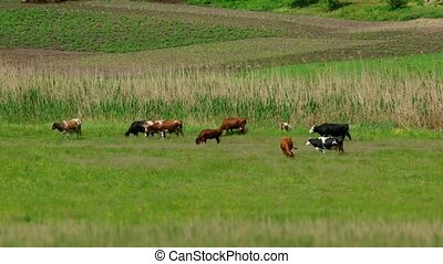 Group Of Cows On Pasture