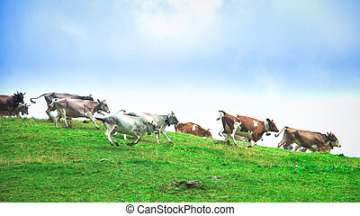 Group of cows running downhill on a mountain meadow