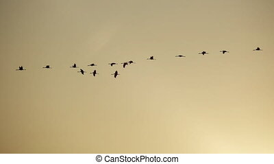 Group of cranes flying in super slow motion - Profile view ...