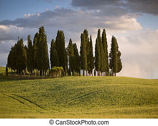 Group of cypress tree in Tuscan landscape of the Val d'Orcia as the sun starts to set