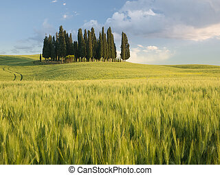 Group of cypress trees in Tuscan landscape of the Val d'Orcia as the sun starts to set