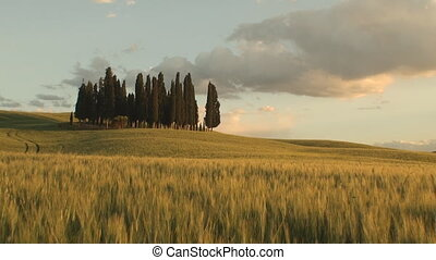 Group of cypress trees at sunset