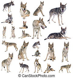 group of Czechoslovakian wolf dog