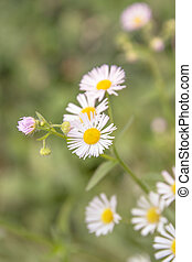 Group of daisy flowers in meadow