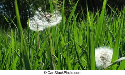 group of dandelions growing in grass on a wind