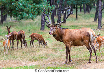 Group of deer - Beautiful deer (Cervus elaphus) in national...