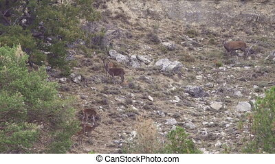 Group of deers in the wild, male bellowing - Long shot of...