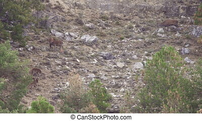Group of deers in the wild with male - Long shot of group of...