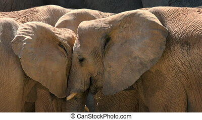 Group of desert elephants on a hot summer day, trying to socialize,