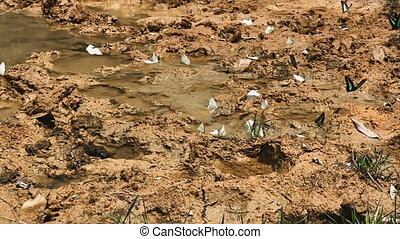 Group of Different Kinds of Butterflies are Take Off and Flying in slow motion Over the Tropical Clay Soil.