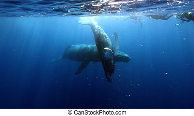 Group of divers near humpback whales mother and young calf...