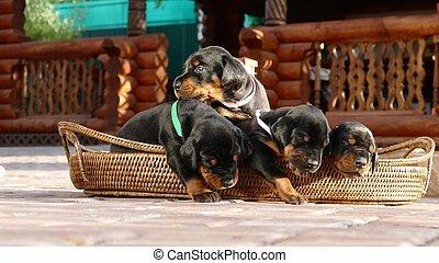 Group of doberman puppies in basket