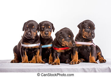 Group Of Dobermann Puppies, isolated on white background