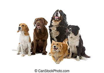 group of dogs - Border collie, beagle dog, chocolate...