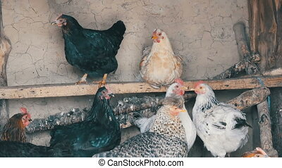 Group of domestic hens sitting on roost in the chicken coop....