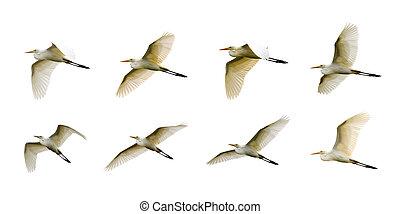 Group of Eastern Cattle egret (Bubulcus coromandus) flying on whitel background. Bird, Wild Animals.